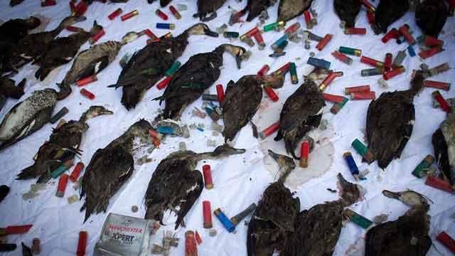 dead-ducks